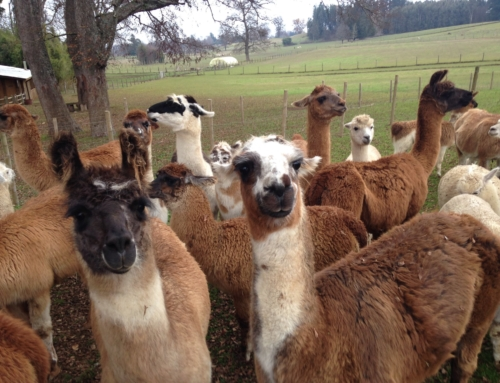 Granja Llamas del Sur – Padre Las Casas