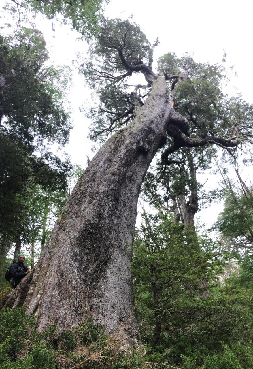 La Araucanía sorprende con bosques monumentales: los árboles de Tinquilco podrán ser conocidos a través de un nuevo sitio web